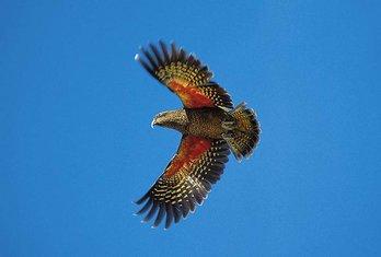 Papagaj kea