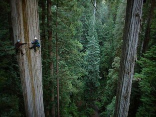 džinovsko drveće