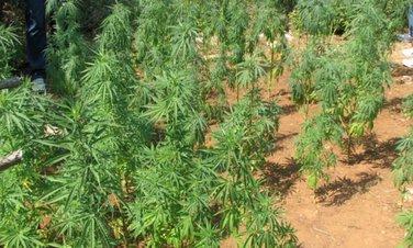 Marihuana, zasadi