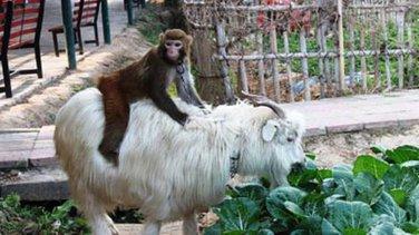 Majmun i koza
