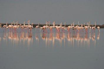 Flamingosi u Ulcinju