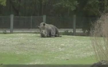 Nosorog Arči