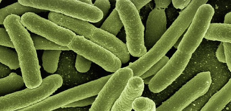 Eschericha coli