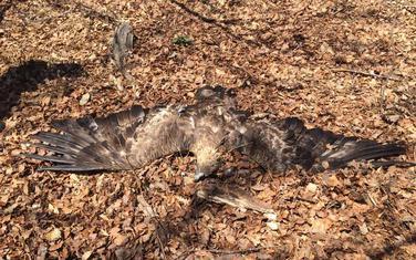 Orlovi otrovani u Plavu