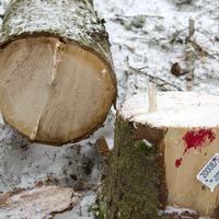 Posiječena stabla Žabljak