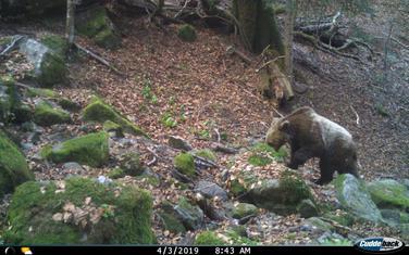 Medvjed u NP Biogradska gora