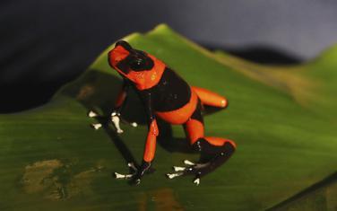 """Jedna od žaba iz uzgajivačkog centra """"Blaga Kolumbije"""""""