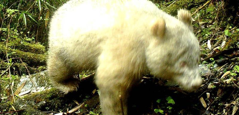 Džinovska albino panda