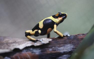 Egzotična žaba