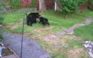 Pas tjera medvjeda iz dvorišta