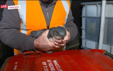 Pingvini osvajaju Velington