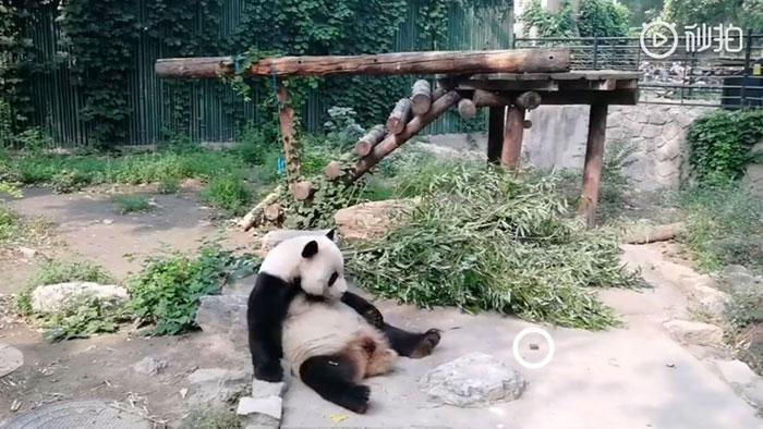 Panda odmarala kada je počelo da leti kamenje