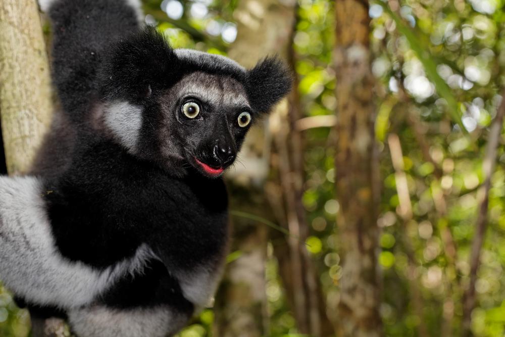 Indri je veliki lemur koji živi na Madagaskaru. U zatočeništvu nijedan nije preživio duže od godinu dana. (foto: Shutterstock)