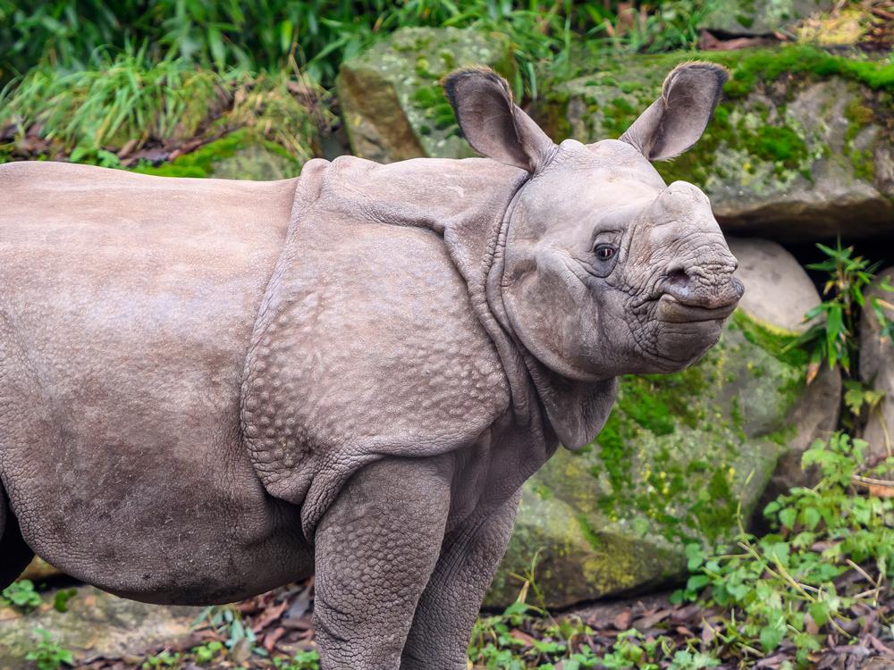 Najrjeđi veliki sisar na planeti je javanski nosorog, i nijedan nije u zatočeništvu, prema Svjetskom fondu za divljinu. Oni su stidljiva vrsta, koja je navikla da živi u bujnoj vegetaciji tropskih šuma. (foto: Shutterstock)