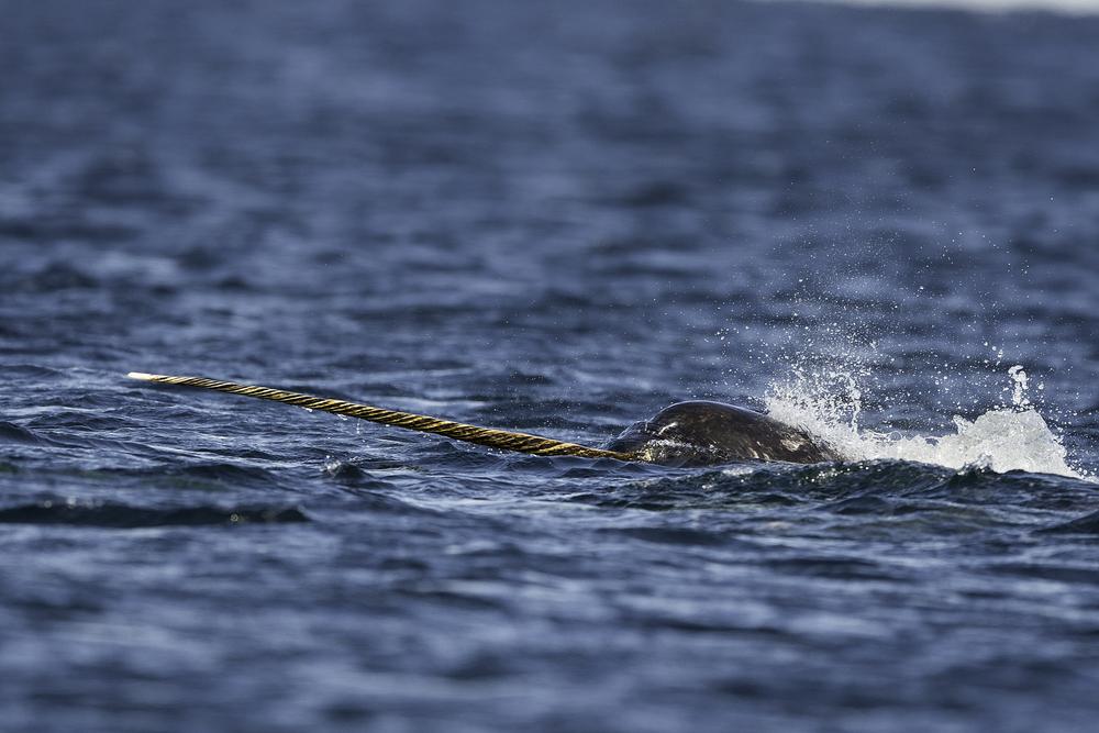 """""""Morski jednorog"""", karakterističan po svom dugom, uzanom rogu, ćudljiva je životinja i lovi na velikim dubinama, pa je zbog toga i neuhvatljiva. (foto: Shutterstock)"""