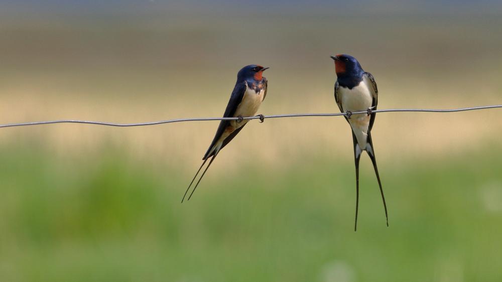 U fokusu života jedne laste je da leti. Zbog toga su veoma osjetljiva vrsta ptice na život u zatočeništvu. (foto: Shutterstock)