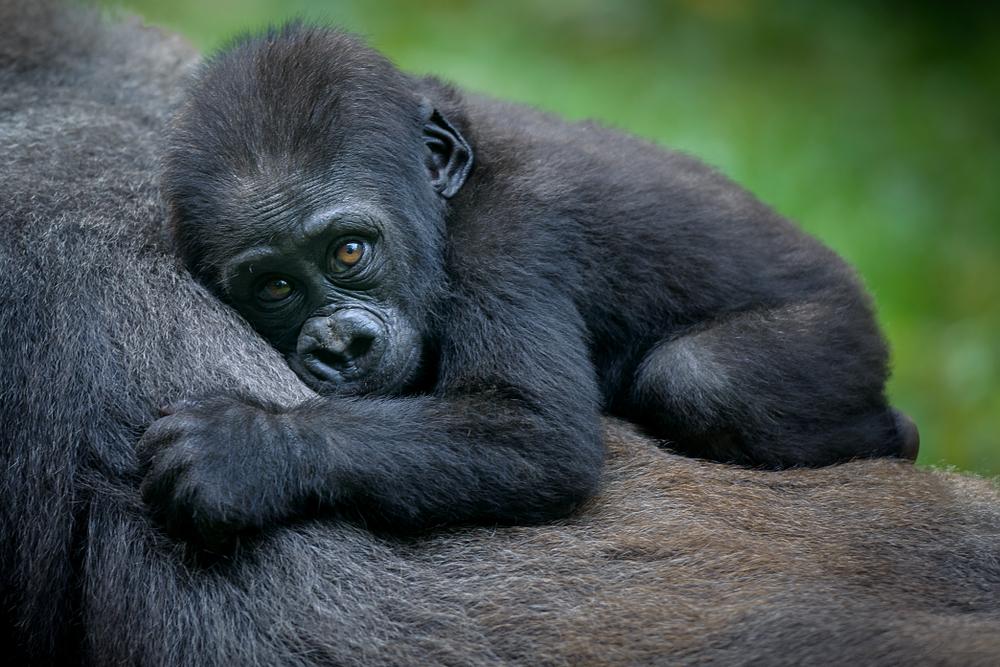 Nije sasvim jasno zbog čega ova vrsta gorila ne uspijeva da preživi u zatočeništvu. Stručnjaci navode da je uzrok tome možda specifična ishrana ili stres koji dovodi do toga da se brzo razbole. (foto: Shutterstock)