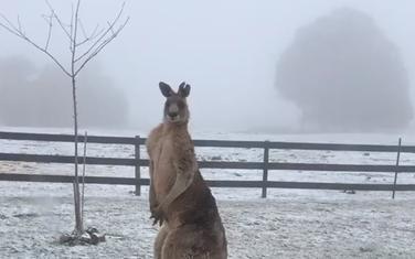Kengur na snijegu
