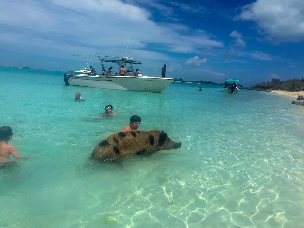 """Pig Beach"" izuzetno popularna (foto: Shutterstock)"