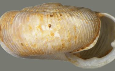 Nova vrsta Virpazaria pesici