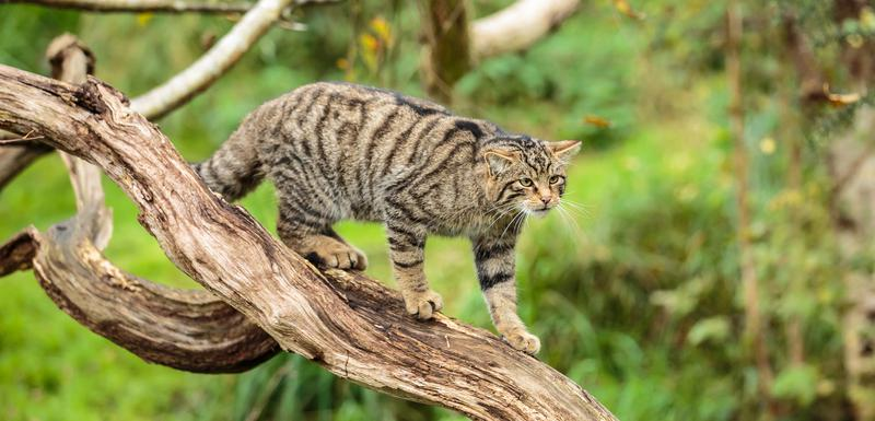 Škotska divlja mačka među ugroženim životinjama