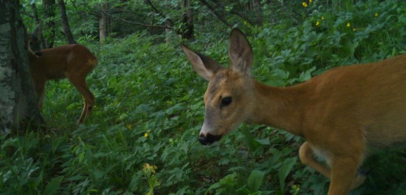 Kamere snimile više divljih životinja
