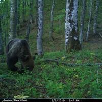 Medvjed u Pivi