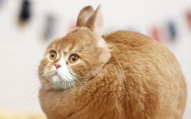 Mačka kao zec