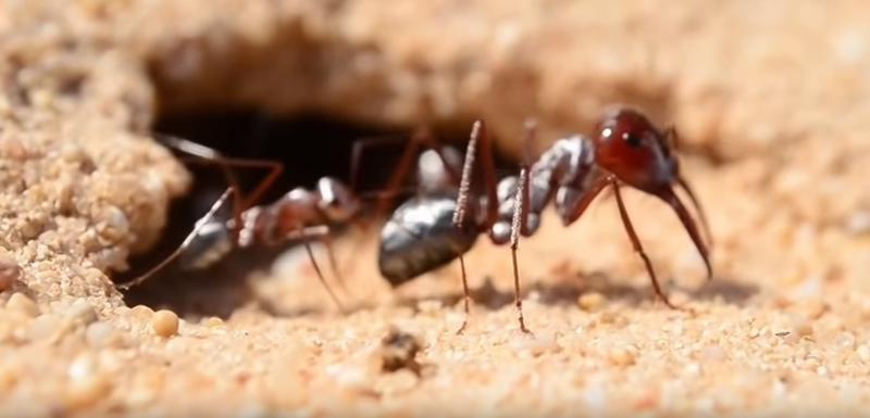 Brzi mrav