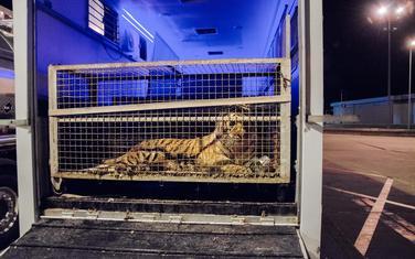 Jedan od spašenih tigrova