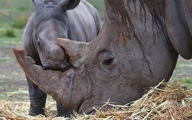 Rogovi nosoroga su veoma skupi, zbog čega su oni često na meti krivolova