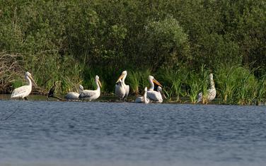 Pelikani u NP Skadarsko jezero