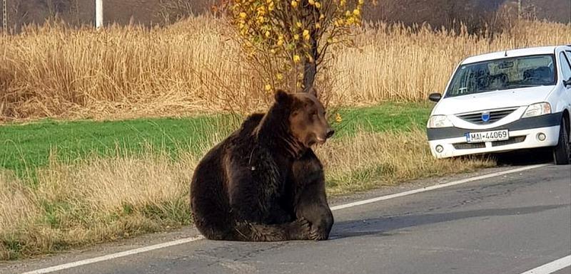 U Rumuniji je u porastu broj medveda i napada