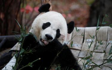 Bei Bei je bio omiljena životinja u Zoološkom vrtu u Vašingtonu