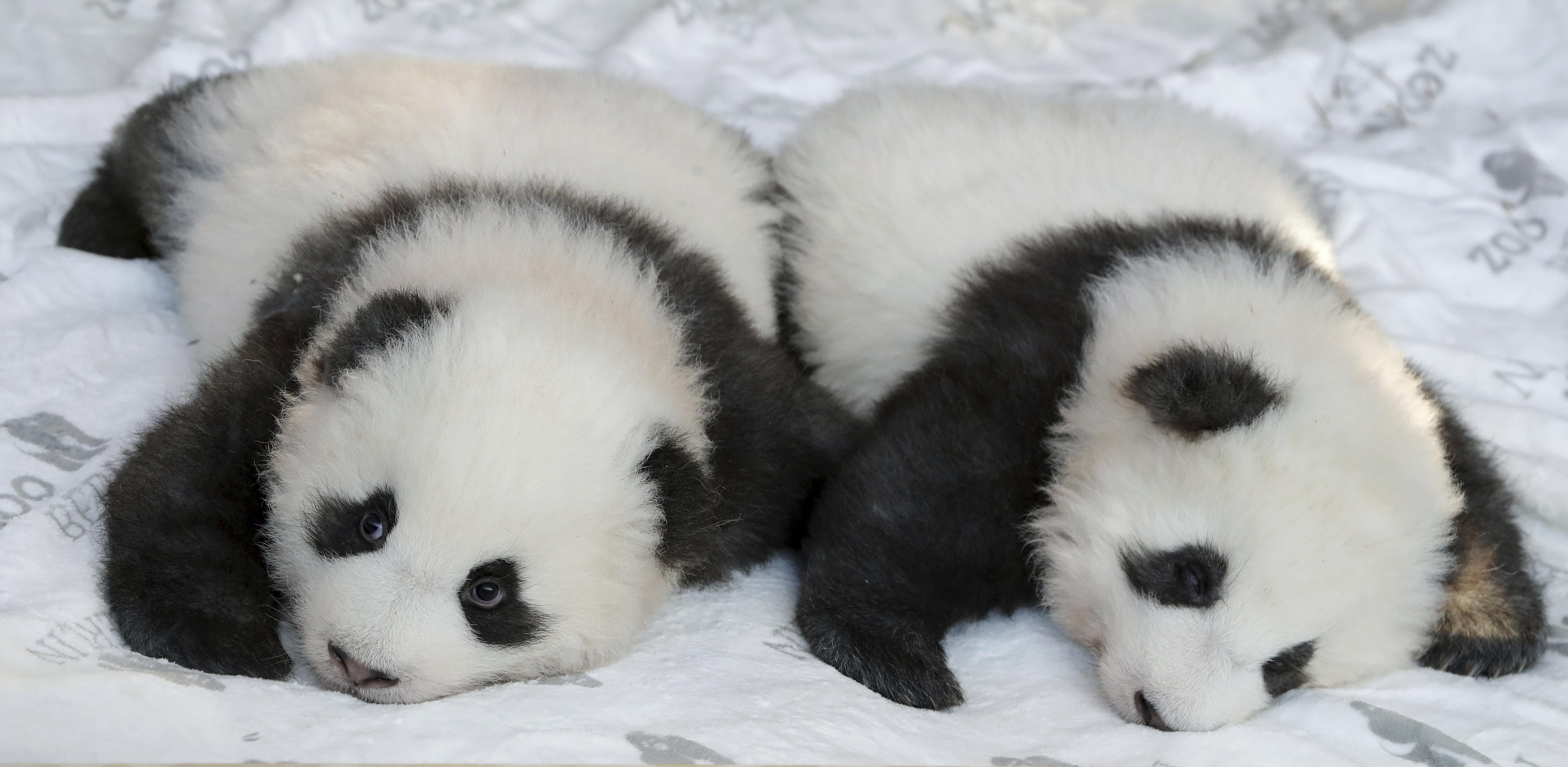 Oni su prve pande rođene u Njemačkoj (foto: AP)