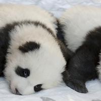 Oni su prve pande rođene u Njemačkoj
