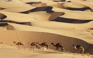 Stručnjaci kažu da u Mauritaniji ima tri miliona kamila i četiri miliona ljudi