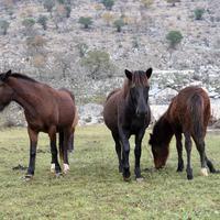Konji na imanju Radulovića u Lužnici
