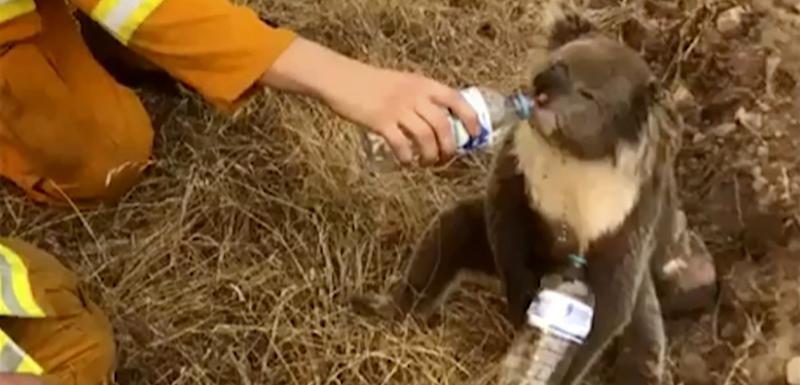 Jedna od spašenih koala tokom požara