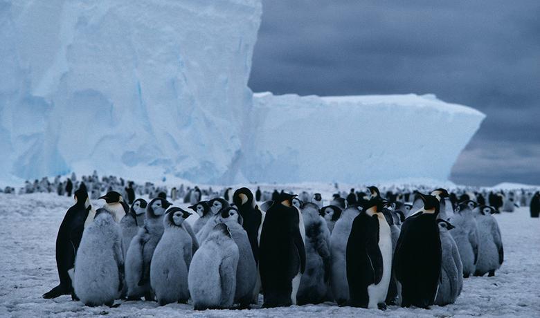 Carskim pingvinima je potrebna stabilna površina morskog leda
