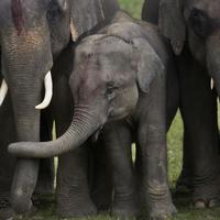 U divljini Šri Lanke preostalo 7.500 slonova