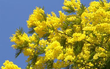 Mimoza (Ilustracija)