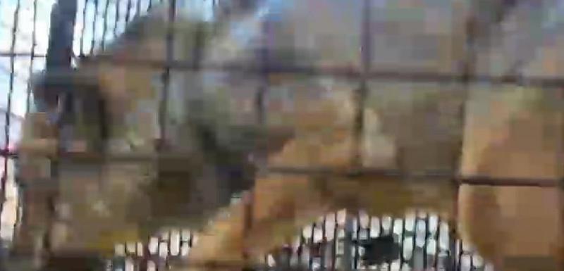 Vuk u kavezu unijet u salu