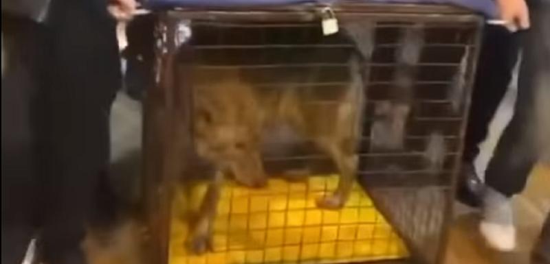Zakonom je zabranjeno držanje vuka