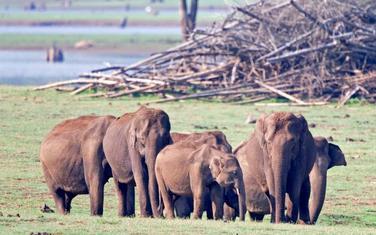 Ženke azijskih slonova nemaju kljove, tako da nisu na meti