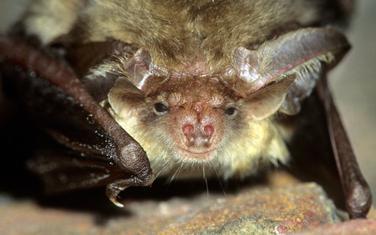Slepi miševi iz Evrope (na slici) razlikuju se od rođaka sa Kariba