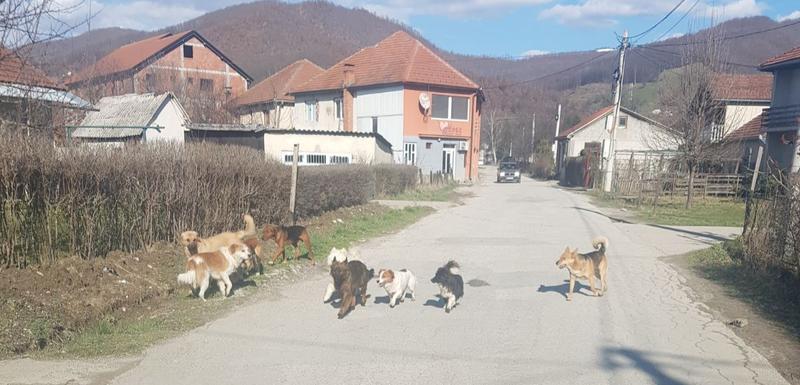 Psi lutalice na ulici u Rasovu