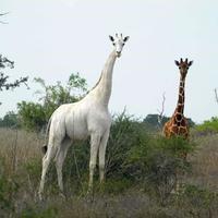 Ostao samo mužjak bijele žirafe