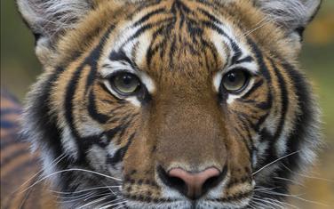 Tigrica Nadia pozitivna na koronavirus